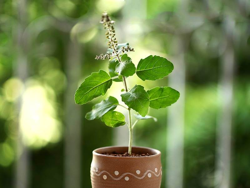 Tulsi (Scientific Name) An Important Plant: Medicinally and Ritually.